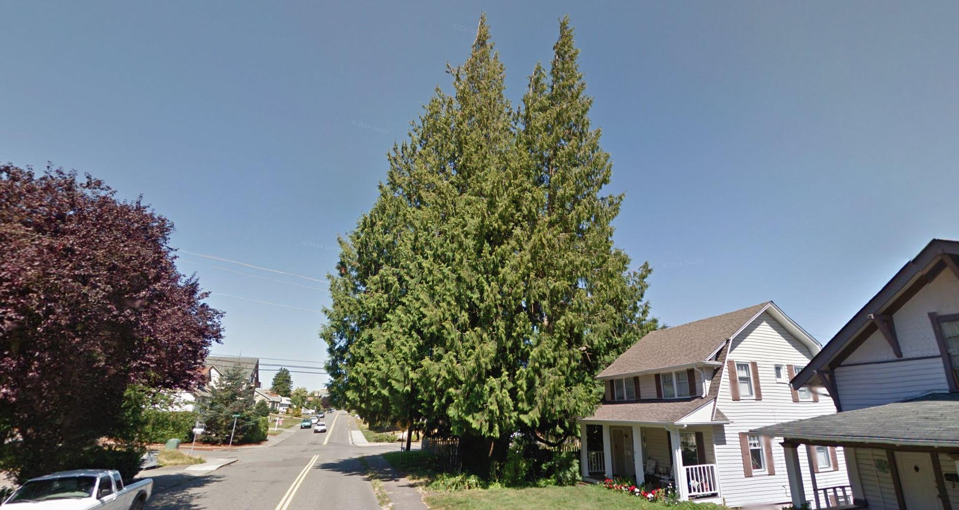 a majestic giant cedar tree just up the street from my house (photo via Google Street View)